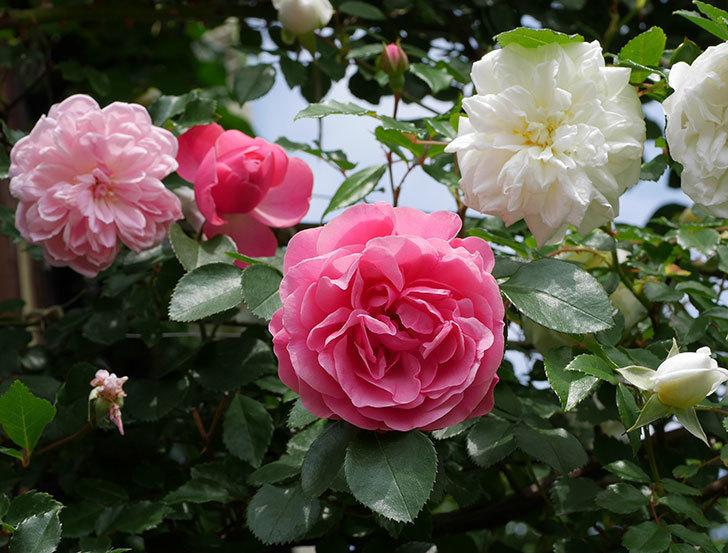 レオナルド・ダ・ヴィンチ(ツルバラ)の花がたくさん咲いた。2018年-18.jpg