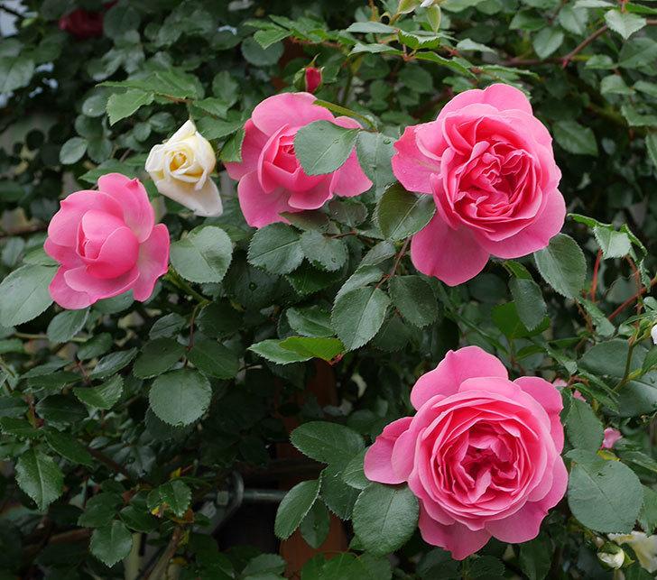 レオナルド・ダ・ヴィンチ(ツルバラ)の花がたくさん咲いた。2018年-19.jpg