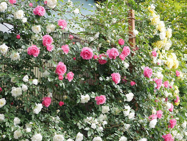 レオナルド・ダ・ヴィンチ(ツルバラ)の花がたくさん咲いた。2018年-2.jpg