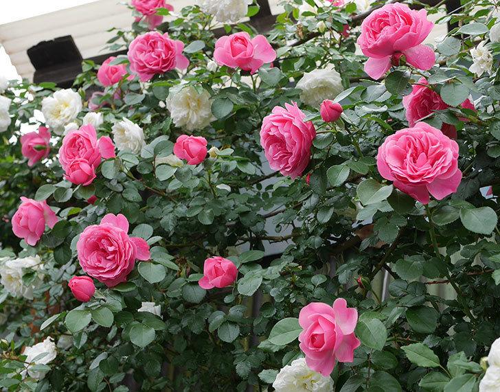 レオナルド・ダ・ヴィンチ(ツルバラ)の花がたくさん咲いた。2018年-20.jpg