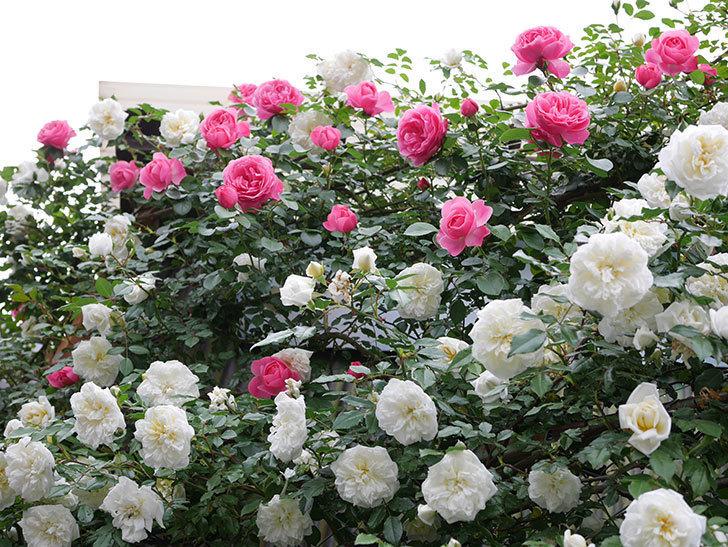 レオナルド・ダ・ヴィンチ(ツルバラ)の花がたくさん咲いた。2018年-21.jpg