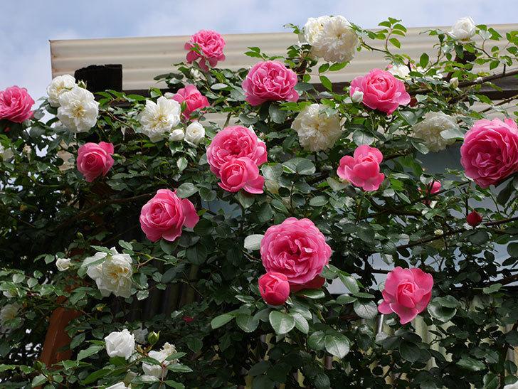 レオナルド・ダ・ヴィンチ(ツルバラ)の花がたくさん咲いた。2018年-5.jpg