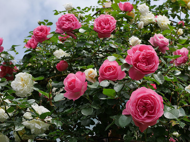 レオナルド・ダ・ヴィンチ(ツルバラ)の花がたくさん咲いた。2018年-8.jpg