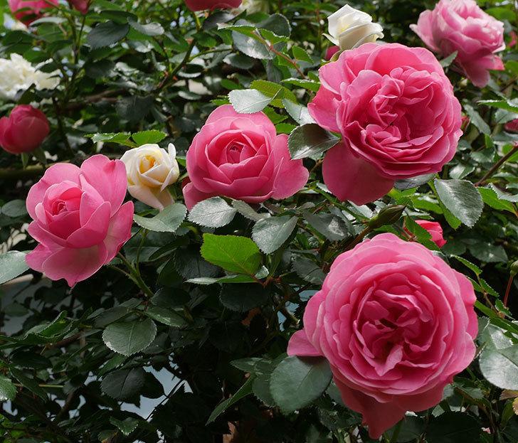 レオナルド・ダ・ヴィンチ(ツルバラ)の花がたくさん咲いた。2018年-9.jpg
