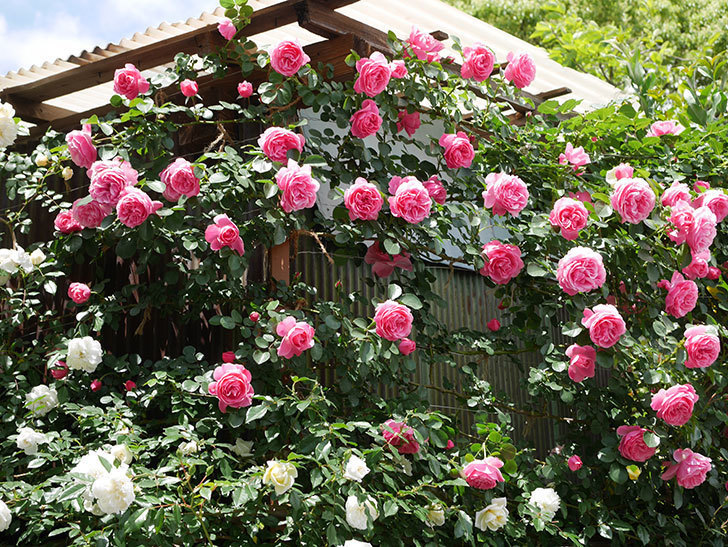 レオナルド・ダ・ヴィンチ(ツルバラ)の花がたくさん咲いた。2019年-1.jpg