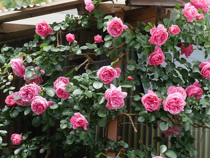 レオナルド・ダ・ヴィンチ(ツルバラ)の花がたくさん咲いた。2019年-10.jpg