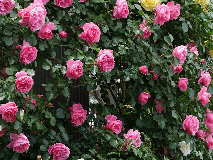 レオナルド・ダ・ヴィンチ(ツルバラ)の花がたくさん咲いた。2019年-11.jpg