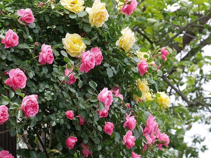 レオナルド・ダ・ヴィンチ(ツルバラ)の花がたくさん咲いた。2019年-12.jpg