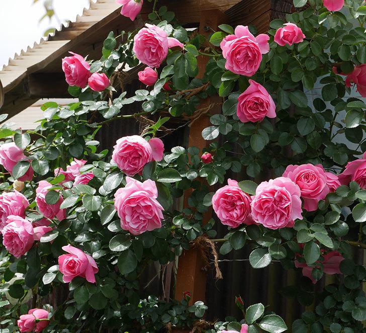 レオナルド・ダ・ヴィンチ(ツルバラ)の花がたくさん咲いた。2019年-13.jpg