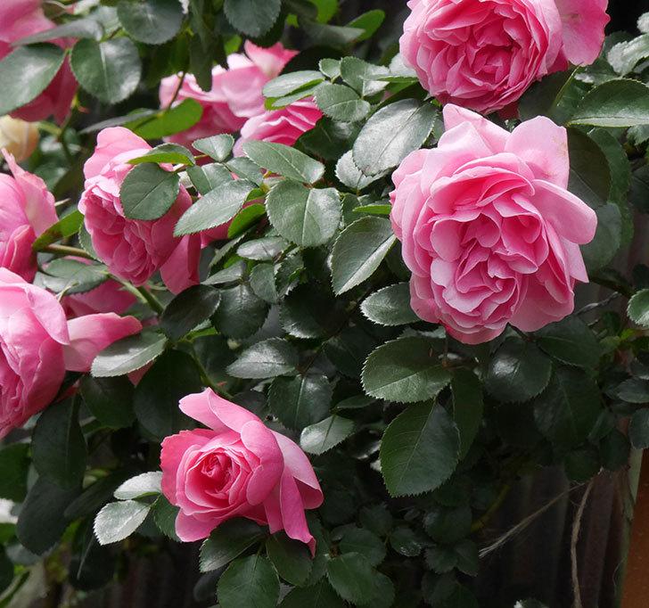 レオナルド・ダ・ヴィンチ(ツルバラ)の花がたくさん咲いた。2019年-15.jpg