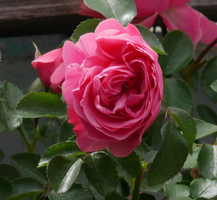 レオナルド・ダ・ヴィンチ(ツルバラ)の花がたくさん咲いた。2019年-16.jpg