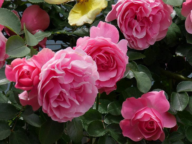レオナルド・ダ・ヴィンチ(ツルバラ)の花がたくさん咲いた。2019年-18.jpg