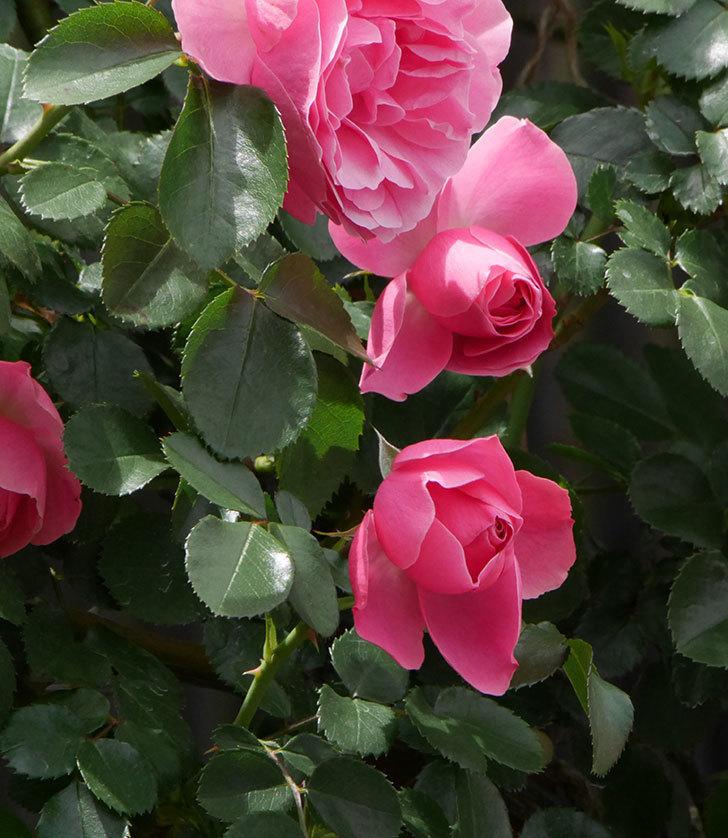 レオナルド・ダ・ヴィンチ(ツルバラ)の花がたくさん咲いた。2019年-19.jpg