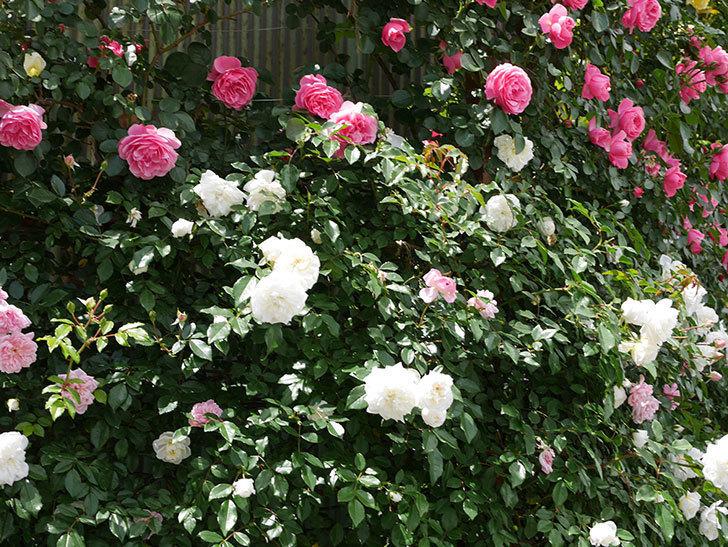 レオナルド・ダ・ヴィンチ(ツルバラ)の花がたくさん咲いた。2019年-2.jpg