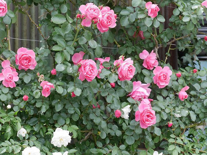 レオナルド・ダ・ヴィンチ(ツルバラ)の花がたくさん咲いた。2019年-21.jpg