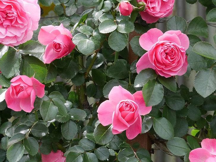 レオナルド・ダ・ヴィンチ(ツルバラ)の花がたくさん咲いた。2019年-22.jpg