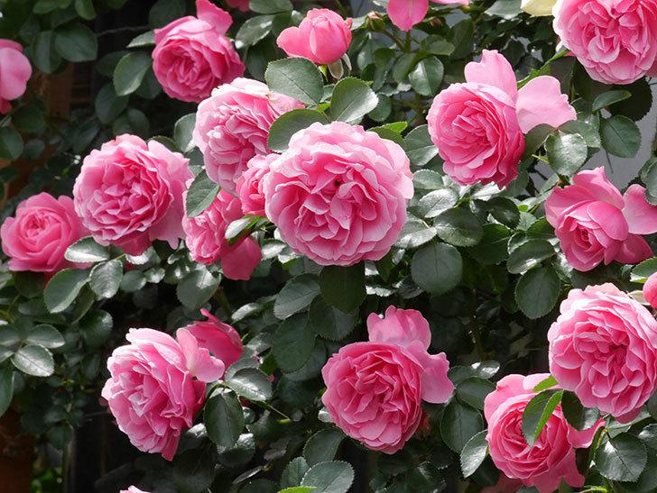 レオナルド・ダ・ヴィンチ(ツルバラ)の花がたくさん咲いた。2019年-23.jpg