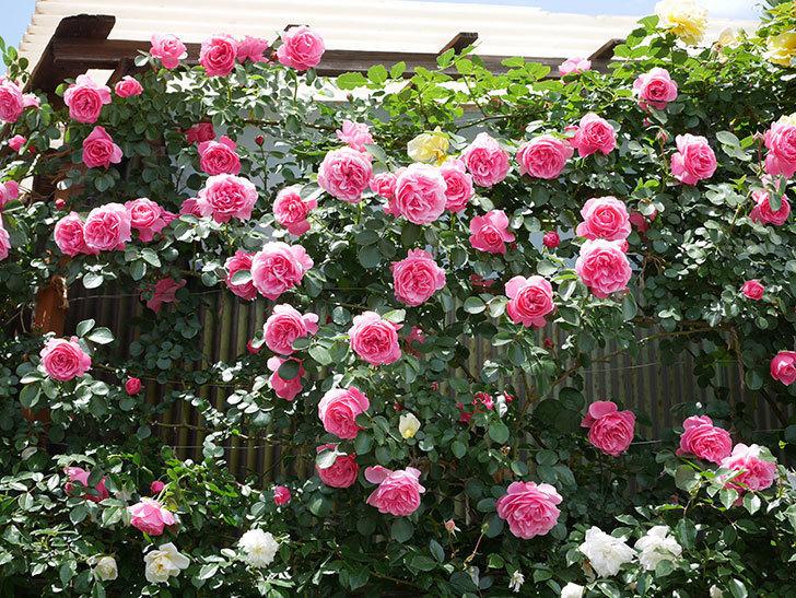 レオナルド・ダ・ヴィンチ(ツルバラ)の花がたくさん咲いた。2019年-3.jpg