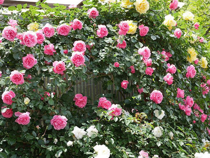 レオナルド・ダ・ヴィンチ(ツルバラ)の花がたくさん咲いた。2019年-4.jpg