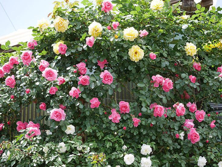 レオナルド・ダ・ヴィンチ(ツルバラ)の花がたくさん咲いた。2019年-5.jpg