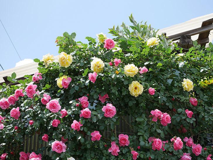 レオナルド・ダ・ヴィンチ(ツルバラ)の花がたくさん咲いた。2019年-6.jpg