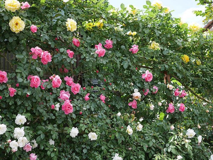 レオナルド・ダ・ヴィンチ(ツルバラ)の花がたくさん咲いた。2019年-7.jpg