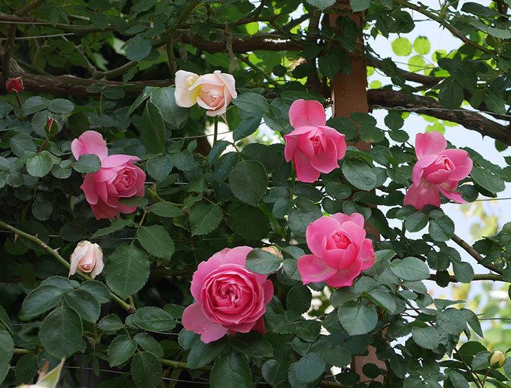 レオナルド・ダ・ヴィンチ(ツルバラ)の花がたくさん咲いた。2019年-9.jpg