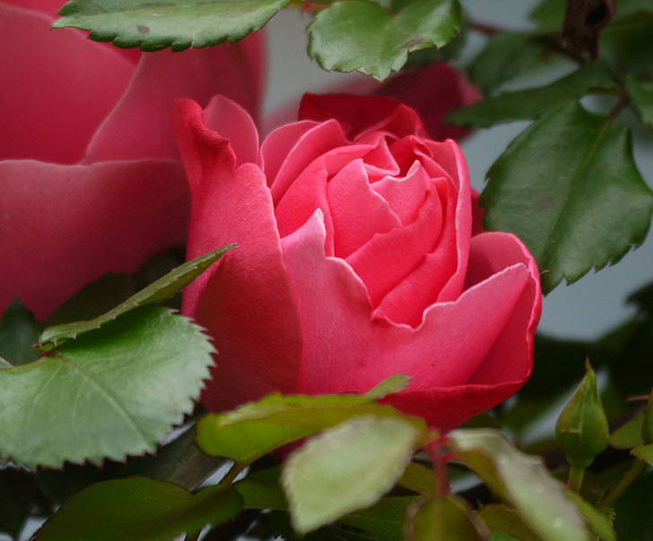 レオナルド・ダ・ヴィンチ(ツルバラ)の花がまた咲いた。2018年-2.jpg