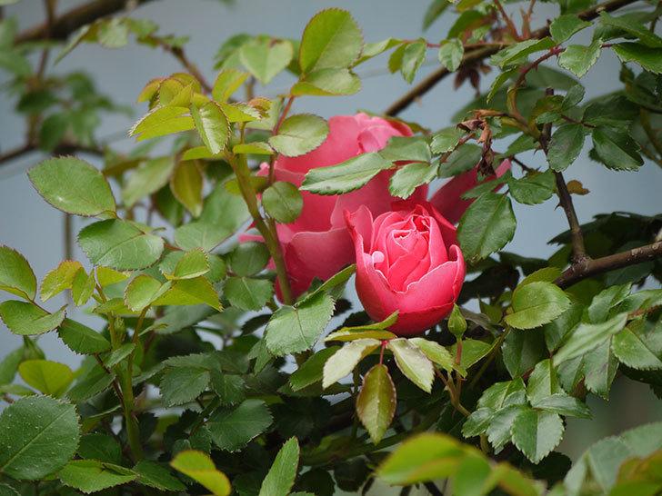 レオナルド・ダ・ヴィンチ(ツルバラ)の花がまた咲いた。2018年-3.jpg