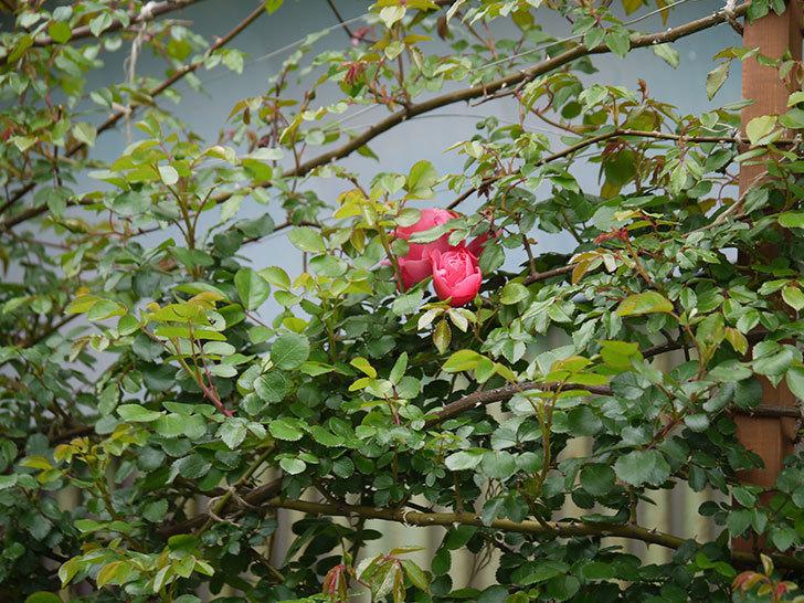 レオナルド・ダ・ヴィンチ(ツルバラ)の花がまた咲いた。2018年-4.jpg