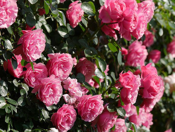 レオナルド・ダ・ヴィンチ(ツルバラ)の花がまとまって咲いた。2019年-1.jpg