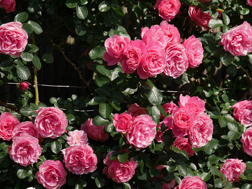 レオナルド・ダ・ヴィンチ(ツルバラ)の花がまとまって咲いた。2019年-10.jpg