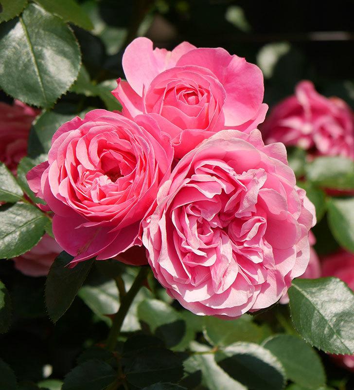 レオナルド・ダ・ヴィンチ(ツルバラ)の花がまとまって咲いた。2019年-11.jpg