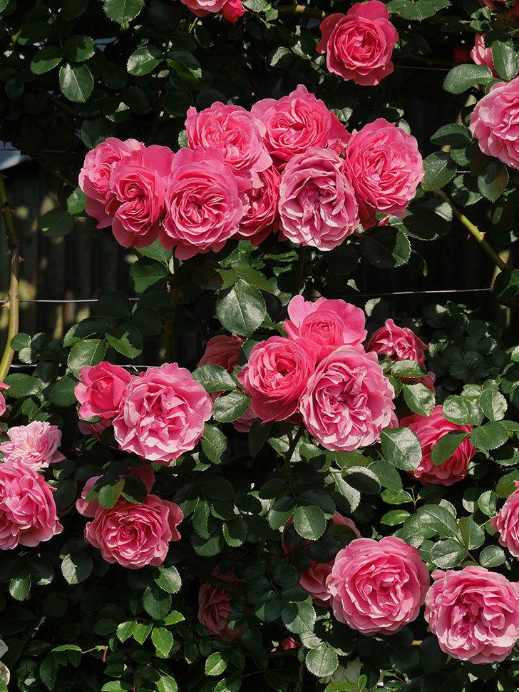 レオナルド・ダ・ヴィンチ(ツルバラ)の花がまとまって咲いた。2019年-12.jpg