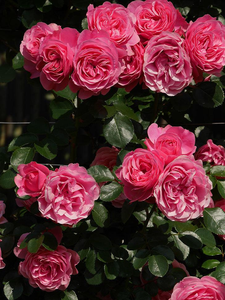 レオナルド・ダ・ヴィンチ(ツルバラ)の花がまとまって咲いた。2019年-13.jpg
