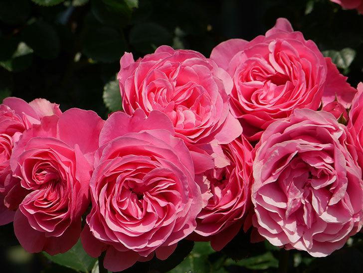 レオナルド・ダ・ヴィンチ(ツルバラ)の花がまとまって咲いた。2019年-14.jpg