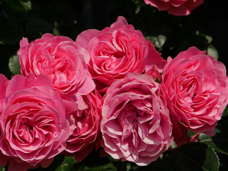 レオナルド・ダ・ヴィンチ(ツルバラ)の花がまとまって咲いた。2019年-15.jpg