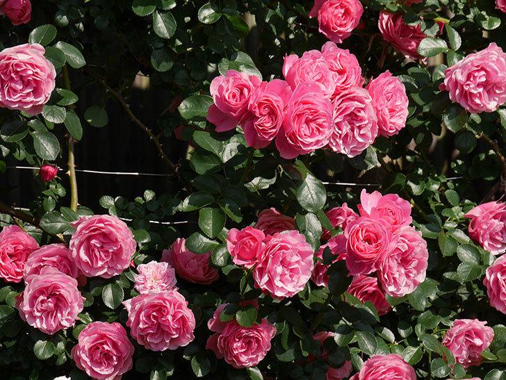 レオナルド・ダ・ヴィンチ(ツルバラ)の花がまとまって咲いた。2019年-2.jpg