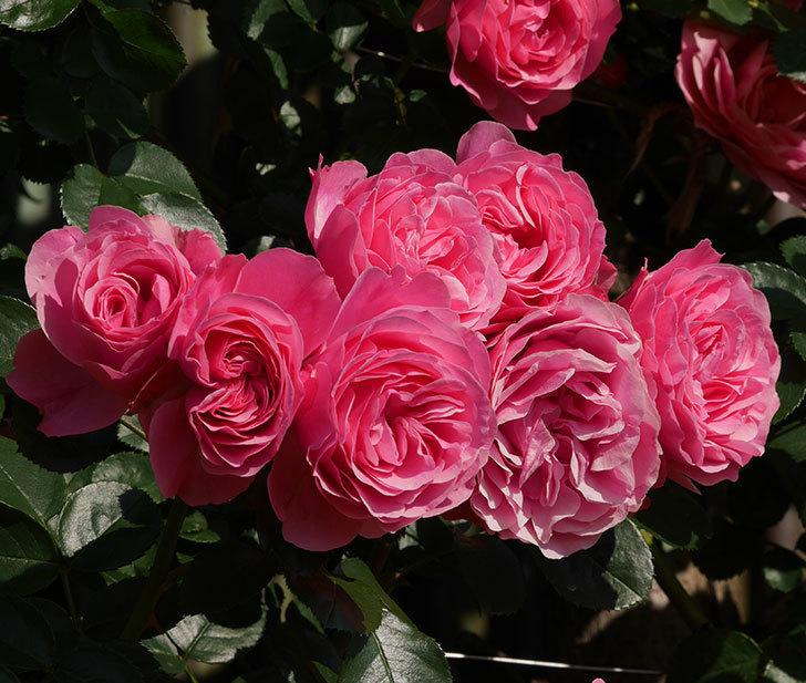 レオナルド・ダ・ヴィンチ(ツルバラ)の花がまとまって咲いた。2019年-3.jpg
