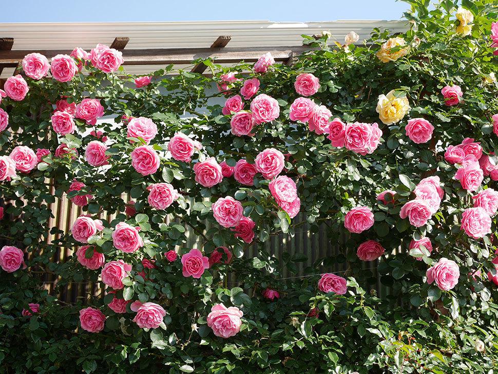 レオナルド・ダ・ヴィンチ(ツルバラ)の花がまとまって咲いた。2019年-4.jpg