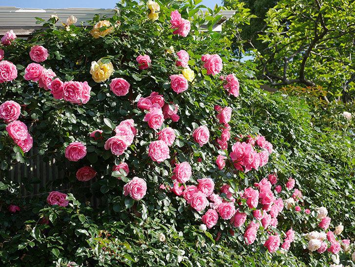 レオナルド・ダ・ヴィンチ(ツルバラ)の花がまとまって咲いた。2019年-5.jpg