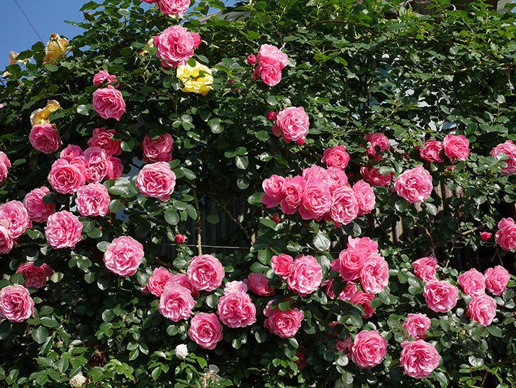 レオナルド・ダ・ヴィンチ(ツルバラ)の花がまとまって咲いた。2019年-6.jpg