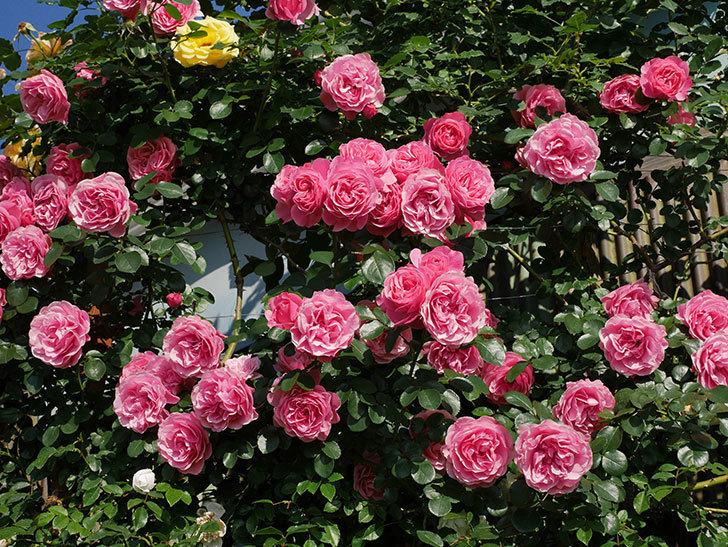 レオナルド・ダ・ヴィンチ(ツルバラ)の花がまとまって咲いた。2019年-7.jpg