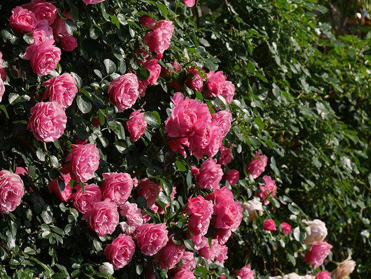 レオナルド・ダ・ヴィンチ(ツルバラ)の花がまとまって咲いた。2019年-8.jpg