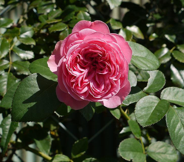 レオナルド・ダ・ヴィンチ(ツルバラ)の花が咲いた。2016年-1.jpg