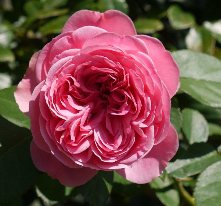 レオナルド・ダ・ヴィンチ(ツルバラ)の花が咲いた。2016年-2.jpg
