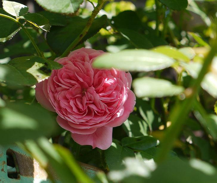レオナルド・ダ・ヴィンチ(ツルバラ)の花が咲いた。2016年-3.jpg