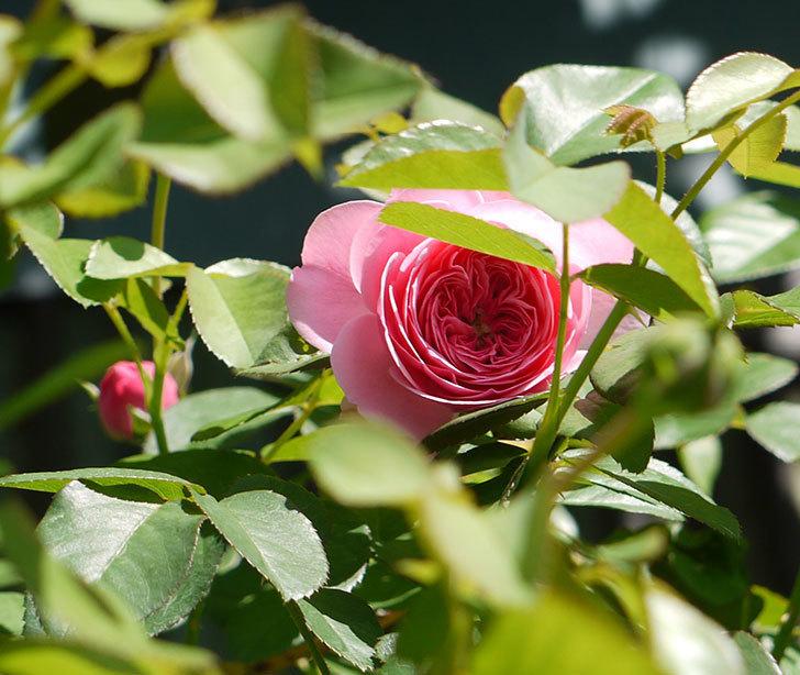 レオナルド・ダ・ヴィンチ(ツルバラ)の花が咲いた。2016年-4.jpg