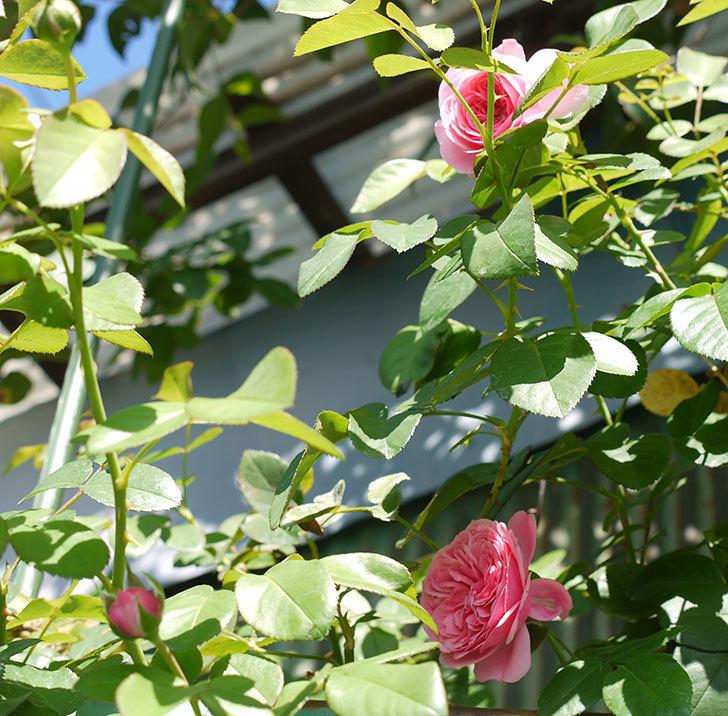 レオナルド・ダ・ヴィンチ(ツルバラ)の花が咲いた。2016年-5.jpg