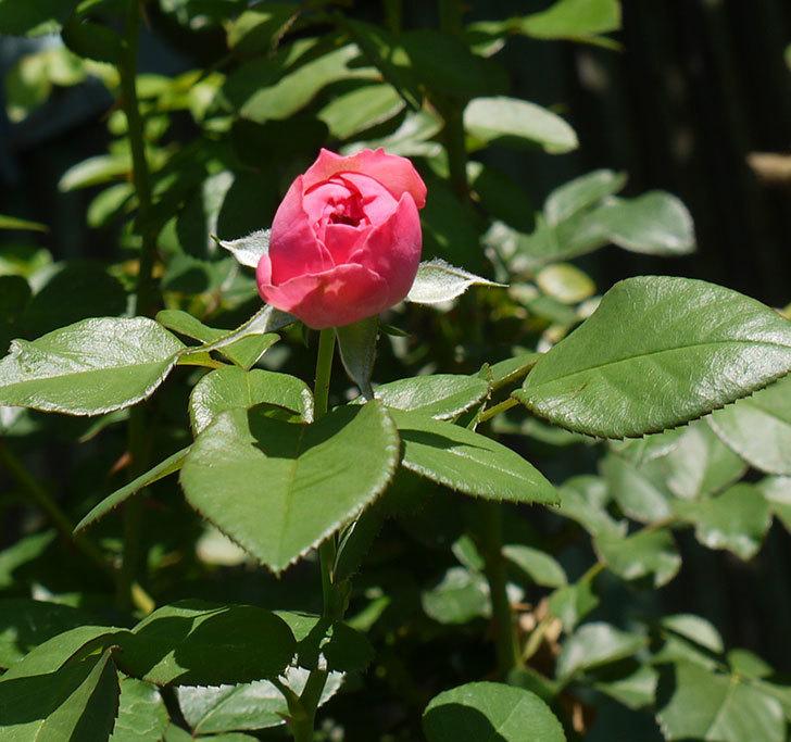 レオナルド・ダ・ヴィンチ(ツルバラ)の花が咲いた。2016年-6.jpg